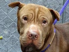 BEAVIS is an adoptable Shar Pei Dog in New York, NY. A volunteer writes: Beavis is a male Sharpei of mixed lineage who came to us as his family could not care for a pet anymore. He is said to be shy i...