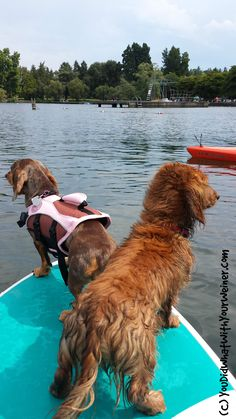 Paddle board with your dogs on Green Lake in the summer. If you don't have your own board, you can rent one at the lake. They welcome dogs on their rental boards.