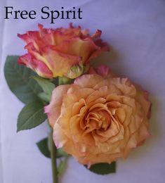 Flirty Fleurs Orange Rose Color Study. Free Spirit Orange Rose