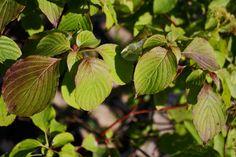Alternative Leaf Dogwood Trees And Shrubs, Plant Leaves, Alternative, Plants, Flora, Plant, Planting