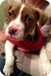 Beagle boxer mix senior pet project...Me thinks this is our Bailey.......She made Pinterest!!!!!