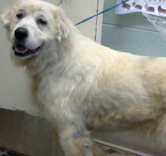 Leni (chipped) - URGENT - Dekalb County Animal Shelter in Decatur, Georgia - ADOPT OR FOSTER - 3 year old Female Great Pyrenees Mix