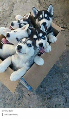 Did someone order husky puppies?