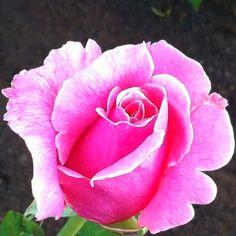Pretty pink rose bud!