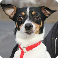 ♥DD♥ 612 FOX-CHI (SMOOTH FOX TERRIER &  CHIHUAHUA)