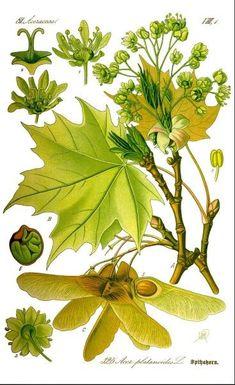 Für nur wenige Wochen im März und April kannst du die Blätter des Ahorns ernten und vielfältig nutzen und sogar heimischen Ahornsirup ernten.