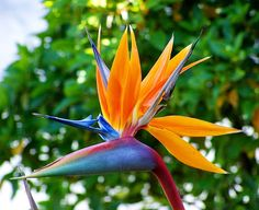 Ave do paraíso (Bird of Paradise) (which they obviously also have in in Brazil)