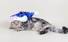 Christmas Kitten, Cute Animals, Pets, Blue, Pretty Animals, Cutest Animals, Cute Funny Animals, Adorable Animals, Animals And Pets