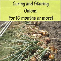 By Curing and storing onions properly they can last in storage for 10 months or more. Follow 4 easy steps and you will eating garden onions year round.