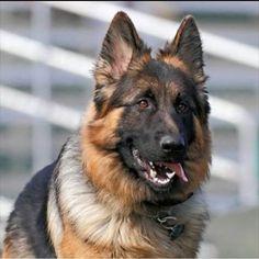 German Shepherd Fan Page -