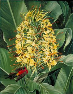 Tropical Ginger flower, Marianne North