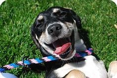 Twin Falls, ID - Dachshund/Australian Shepherd Mix. Meet Hattie (Manhatten), a dog for adoption. http://www.adoptapet.com/pet/13042282-twin-falls-idaho-dachshund-mix