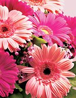 History and Meaning of Gerbera Daisies  by Samantha Green      Primary Significance: The fifth most popular flower in the world, gerbera daisies can mean innocence, purity, and cheerfulness. These large daisy variations come in a number of vibrant colors, and sending them is the perfect way to brighten someone's day. [click for info]