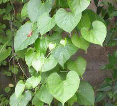 Đây không phải là dây Ký ninh, nhưng dân gian đã quen gọi như vậy.    Vietnamese named : dây Cóc, dây Ký ninh, thuốc Sốt rét  English names : Heavenly elixir  Scientist name : Tinospora crispa F.-Vill  Synonyms : Tinospora rumphii Boerl., Tinospora cordif http://www.flickr.com/photos/may-loc-nuoc/8592423914/in/set-72157633091194683  http://www.flickr.com/photos/may-loc-nuoc/sets/