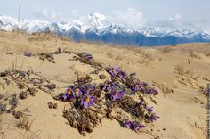 siberian flowers desert and mountains