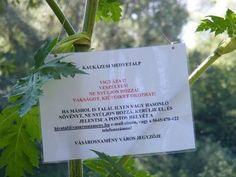 Új mérgező növény terjed hazánkban