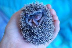 An experienced hedgehog breeder in Charlottesville, VA. Cute Animals, Super Cute, Pets, Pretty Animals, Cute Funny Animals, Animals And Pets, Cutest Animals