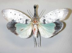 OVERSTOCK Real Lanternfly Pyrops clavata mizunumai by InsectArt