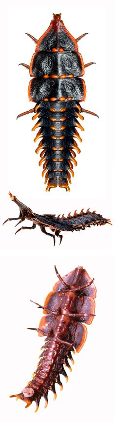female, dorsal, lateral, and ventral view - Anita Smith Home Weird Insects, Cool Insects, Bugs And Insects, Cool Bugs, Tyranids, A Bug's Life, Beetle Bug, Beautiful Bugs, Patterns In Nature