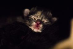 Main Coon Kitten Bilder von Ralf Hohmann Fotografie aus 36211 Alheim