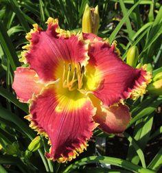 DAYLILY PLANTS ~ IWANNA PIRANHA ~ KINNEBREW ~ DF