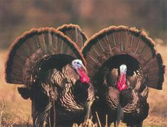 Gobblers in full glory