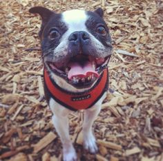 Big smile at Joaquin Miller Dog Park - Oakland, CA - Angus Off-Leash #dogs #puppies #cutedogs #dogparks #oakland #california #angusoffleash