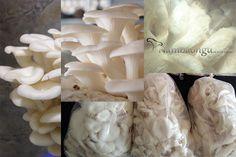 Chuyên cung cấp sỉ lẻ nấm bào ngư xám, trắng, vàng, nhật. Cam kết giá nấm bào ngư tốt và ổn định nhất. Liên hệ 0905 59 42 59 (Văn)