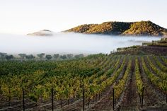 The beautiful fog that rolls in and out of our vineyards almost every morning in the Stags Leap District