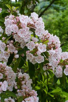 Mountain Laurel, the PA state flower. This flower moves me so. It is a treat to discover in the woods as I walk. It is very select in where it chooses to grow.