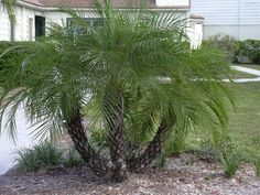 Phoenix roebelenii (Dwarf date palm, pygmy date palm)