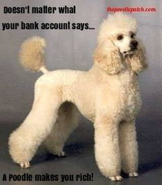 DOESNT MATTER WHAT YOUR BANK ACCOUNT SAYS A POODLE MAKES YOU RICH!!!