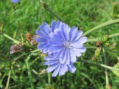 Čekanka obecná (Cichorium intybus) je rostlina patřící do čeledi hvězdnicovité (Asteraceae), někdy také nazývané složnokvěté[1]. Čekanka je vytrvalá až jeden metr vysoká bylina s tuhým stonkem.