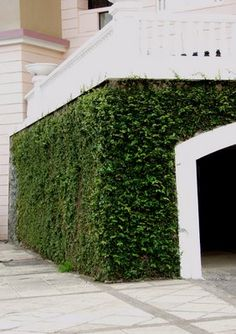 Creeping Fig Wall