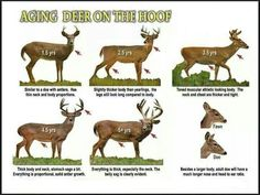 If your managing your property for quality whitetail deer, the best way to get more trophy bucks is to pass on the smaller bucks. How to age a whitetail deer. hunting How To Age A Whitetail Buck Whitetail Deer Hunting, Quail Hunting, Deer Hunting Tips, Deer Hunting Blinds, Hunting Girls, Whitetail Bucks, Turkey Hunting, Archery Hunting, Hunting Gear