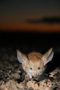 Long-eared Jerboa. The long-eared jerboa (Euchoreutes naso) is a terrestrial jumping rodent found in southern parts of Mongolia and north-central areas of China. The species is primarily nocturnal, spending the daylight hours in underground tunnels, and insectivorous.   © Zoological Society of London.