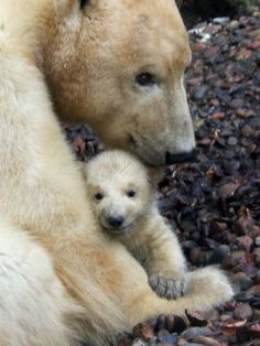 The newest, cutest baby animals from the world's accredited zoos and aquariums. Cute baby animal pictures and videos by date, species, and institution. Cute Baby Animals, Animals And Pets, Animal Babies, Beautiful Creatures, Animals Beautiful, Baby Polar Bears, Bear Photos, Love Bear, Bear Cubs