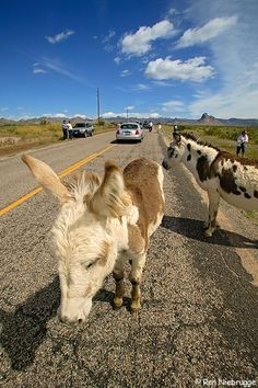 The wild burros often found in Oatman can sometimes be found outside the town proper, here a group was grazing along the road just outside of Oatman, Arizona.