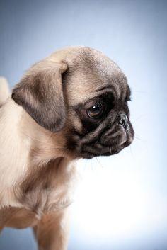 Cute Pug Puppy ✿⊱╮
