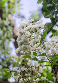 Blushing Bride – Lebensart im Markgräflerland Blush, Juni, Plants, Pink, Passion Flower, Climbing Roses, Lilies, Lawn And Garden, Rouge