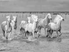 Marco Carmassi: Wild Camargue horses gallop through marshes southern France Most Beautiful Animals, Beautiful Horses, Pony Breeds, Horse Galloping, Horse Wall Art, Draw On Photos, Majestic Horse, Wild Mustangs, All The Pretty Horses