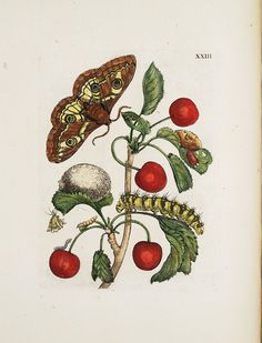 """smithsonianlibraries: """" Illustration of insects and flowers, from Maria Sibylla Merian's Raupen wunderbare Verwandelung und sonderbare Blumennahrung ( """"Caterpillars, Their Wondrous. Butterfly Illustration, Illustration Art, Nature Illustrations, Medical Illustration, Sibylla Merian, Mulberry Leaf, Detailed Paintings, Shell, Old Paper"""