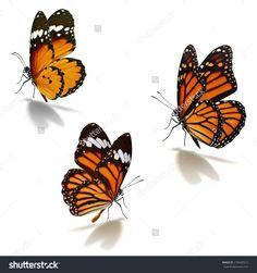 Three Orange Monarch Butterfly Isolated On White Background Стоковые фотографии 278409512 : Shutterstock