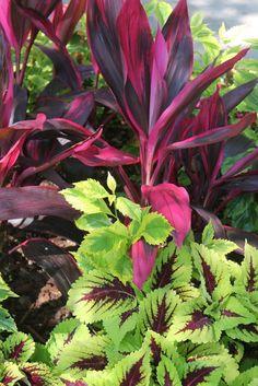 Cordyline 'Red Sister' and coleus Tropical Garden Design, Tropical Backyard, Tropical Landscaping, Tropical Plants, Front Yard Landscaping, Backyard Landscaping, Tropical Gardens, Bali Garden, Balinese Garden