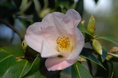 Bred on the Caerhays estate here in Cornwall, this Camellia x williamsii 'Elizabeth de Rothschild' is one of our more delicate but reliable early spring flowering shrubs. #glendurgan #spring #cornwall #flowers #camellia