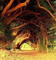 Old yew tree, wales