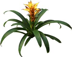 """Once the blooms of a Bromeliad die, small plants called offsets or pups grow from the base of the plant. When the Bromeliad offsets are several inches tall, cut them off and plant them in a 4"""" pot of loose soil. Be careful not to over-water the new plants while the roots are developing.These new Bromeliads usually bloom in 1-3 yrs."""