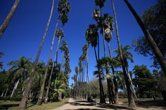 The iconic tall palms of Los Mochis