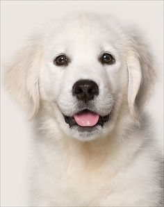 Golden Retrievers are one of the most honest dog breeds you'll ever encounter. They're very friendly, loving, intelligent, and are a fabulous pet. White Pitbull Puppies, Cute Puppies, Cute Dogs, Dogs And Puppies, Doggies, Dogs Golden Retriever, Retriever Puppy, English Golden Retrievers, Baby Animals