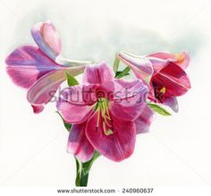 stock-photo-bright-rose-colored-lilies-watercolor-hand-drawn-painting-illustration-of-bright-rose-colored-240960637.jpg (450×419)